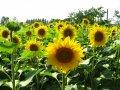 Семена подсолнечника Мир