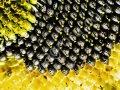 Семена подсолнечника НС-Х-498 Элита