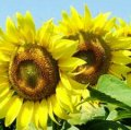 Семена подсолнечника НС-Х-2063 (стандарт)