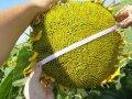 Семена подсолнечника СОНЯЧНИЙ НАСТРІЙ (Екстра) толерантний до Гранстару