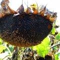 Семена подсолнечника Семена подсолнечника НС-Х-6343 Элита