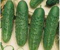 Семена Огурца Феникс
