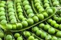 Семена овощного (сахарного)гороха Бизнес (Польша производитель)