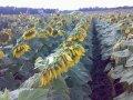 Семена подсолнечника Украинский F1 (урожай 2016г) стандарт