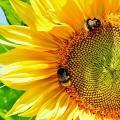 Насіння соняшнику Ефорт