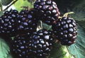 Blackberry - berries