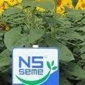 Семена подсолнечника Сержан г. Нови Сад Сербия