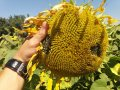 Семена подсолнечника Конфета CL Кондитерский Clearfield May Agro Seed