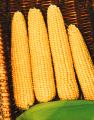 Семена кукурузы Розивский 310 СВ