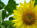 Sunflower seeds Lyubash, 120 days