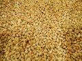 Пшениця Леннокс(Дворучка)