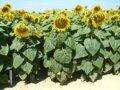 Семена подсолнечника Карлос 105 ІМІ-евро-лайтнинг