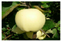 Саженцы яблони. Саженцы плодовых деревьев