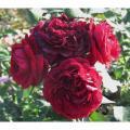 Розы Highgrove