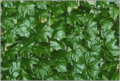 Заборы Зеленая изгородь