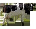 БВМД Дойные коровы  10%