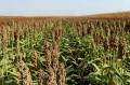 Семена зернового сорго Бригга Brigga, 105-115 суток