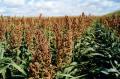 Семена зернового сорго Бургго, BURGGO, 100-110 суток