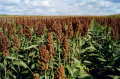 Семена зернового сорго Оггана, Oggana, 105-115 суток