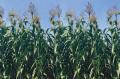 Семена сахарного сорго Амигго, Amiggo, 120-125 суток