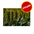 Семена сахарного сорго СУ, 115-120 суток