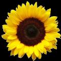 Sunflower seeds Arkansel, under granstar, 105-108 days