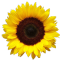Семена подсолнечника под евролайтинг Тамара, 114-118 дней
