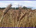 Зерно (зернові)