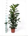 Decorative foliage plants
