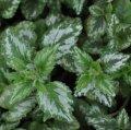 """Зеленчук желтый """"флорентиум"""".lamium galeobdolon """"florentinum"""""""