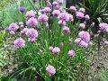 Лук христофа. allium chrystophii