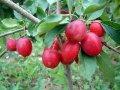 Яблоня плакучая red jade