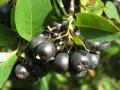 Sadzonki krzewów jagodowych