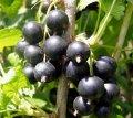 Смородина Черный жемчуг