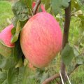 Elma ağaçlarının «Melba» Ekim