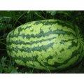 Семена арбуза Каролина