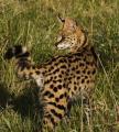 Kids African serval