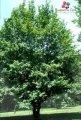 Саджанці дерев
