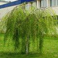 Plant name: silver birch