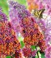Буддлея Вейэра Flower Power