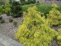 Кипарисовик горохоплодный Filifera Aurea