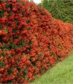 Pyracantha red Red Column