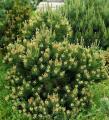 Pine mountain Laurin lebender Stein