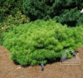 Pine-tree with flowering Jane Kluis