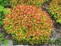 Spiraea japonica Goldflame