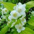 Чубушник венечный/жасмин садовый Aureus
