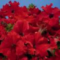Рассада Петуния Крупноцветковая красная