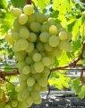 Виноград БЛАГОВЕСТ мускат привитый на подвой Кобер 5ББ