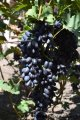 Виноград ПАМЯТИ ДЖЕНЕЕВА (АКАДЕМИК) привитый на Кобер 5ББ и Р*Р 101-14