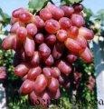 Виноград РИЗАМАТ привитый на Р*Р 101-14